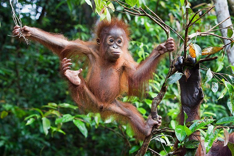pm-19-juvenile-borneo-orangutan-pongo-pygmaeus-swinging-from-tree-branches-with-mothers-hand-in-right-foreground-tanjung-puting-national-park-kalimantan-indonesia