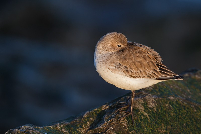 dunlin-1st-winter-_w3c1009-barnegat-jetty-nj