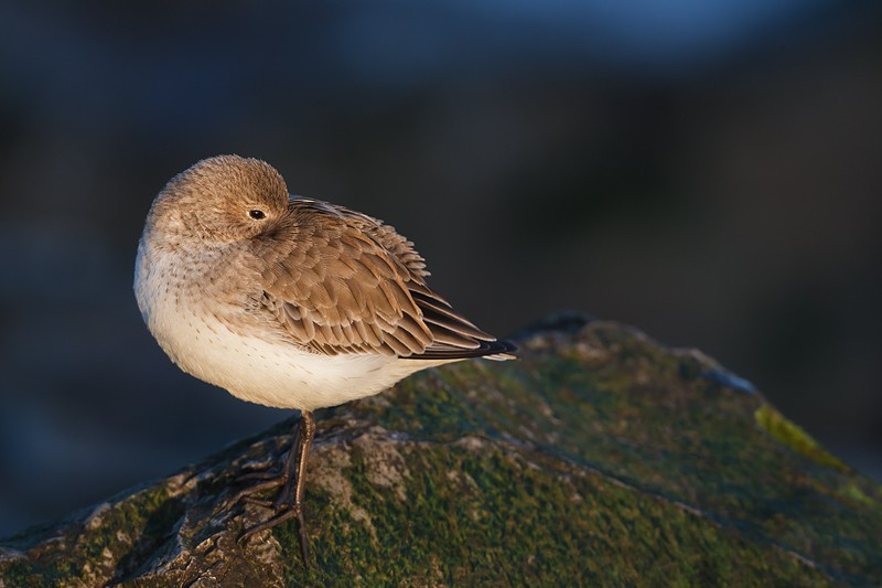 dunlin-1st-winter-sleeping-_w3c1012-barnegat-jetty-nj