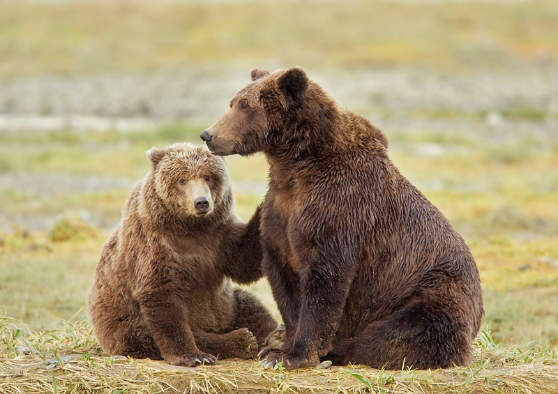 brown-bear-cub-w-paw-on-momma-robt_w3c5406-geographic-harbor-katmai-national-park-ak