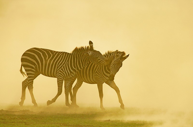common-zebras-backlit-jousting-_l8x1163-lake-mandark