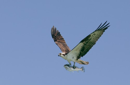 osprey-with-sea-trout-photoshop-by-amorris-_mg_8984