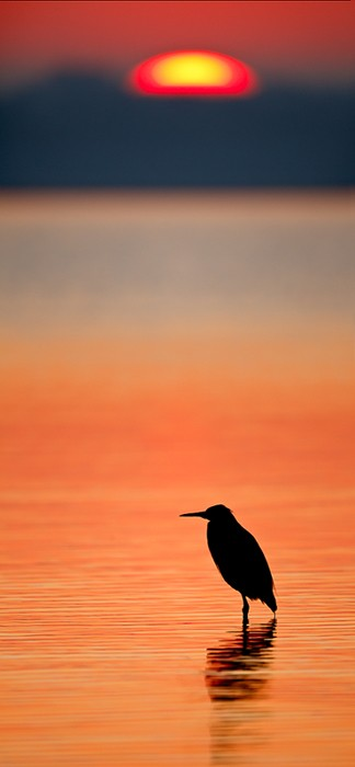 reddish-egret-sunrise-700-high-silh-stitched-pano-_w3c1865-alafia-banks-tampa-bay-fl-copy