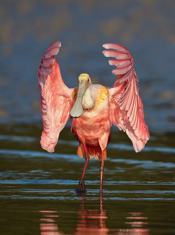 roseate-spoonbill-flapping-_w3c2266-alafia-banks-tampa-bay-fl_0