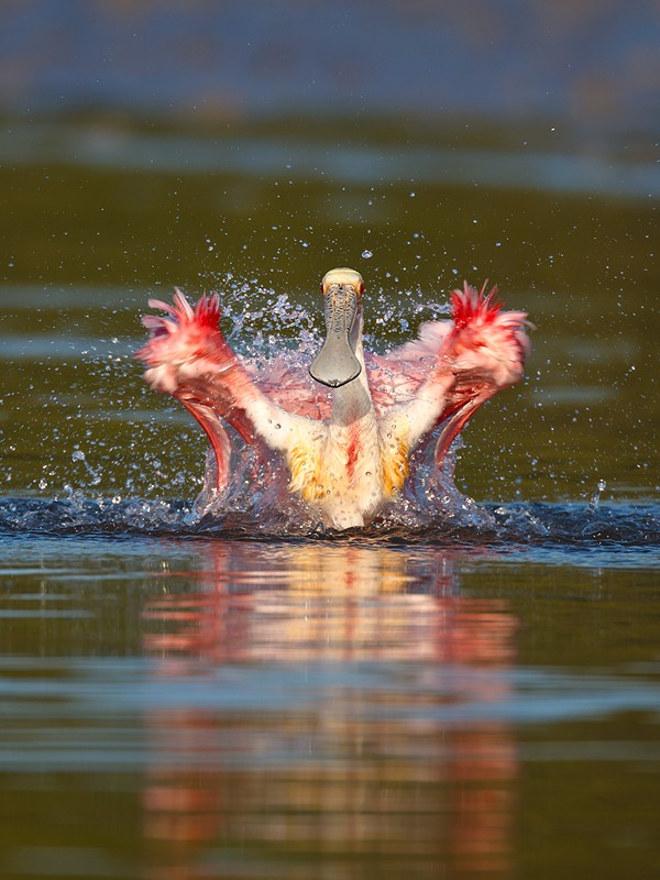 roseate-spoonbill-bathing-_w3c2204-alafia-banks-tampa-bay-fl
