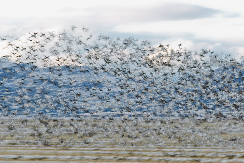 dark-geese-white-geese-flock-flight-blur-_y9c2011-lower-klamath-nwr-ca
