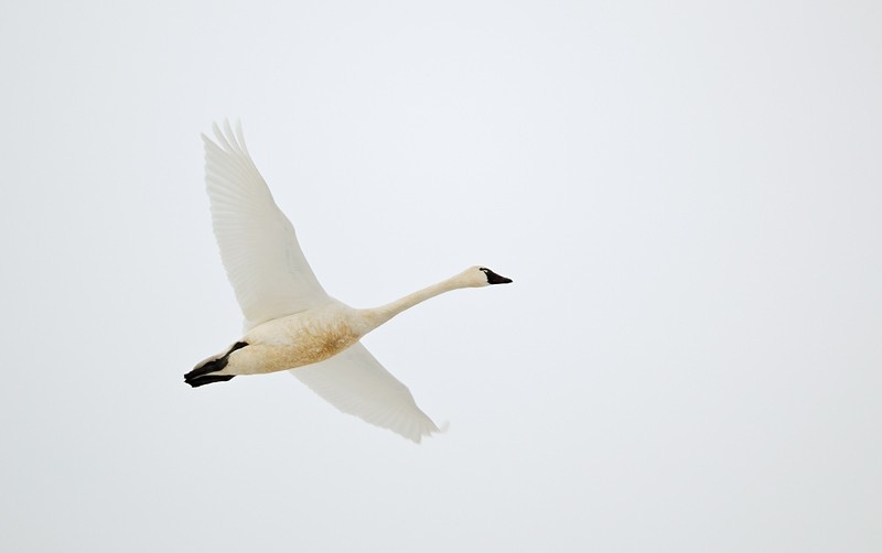 tundra-swan-white-sky-flight-_w3c2795-lower-klamath-nwr-ca