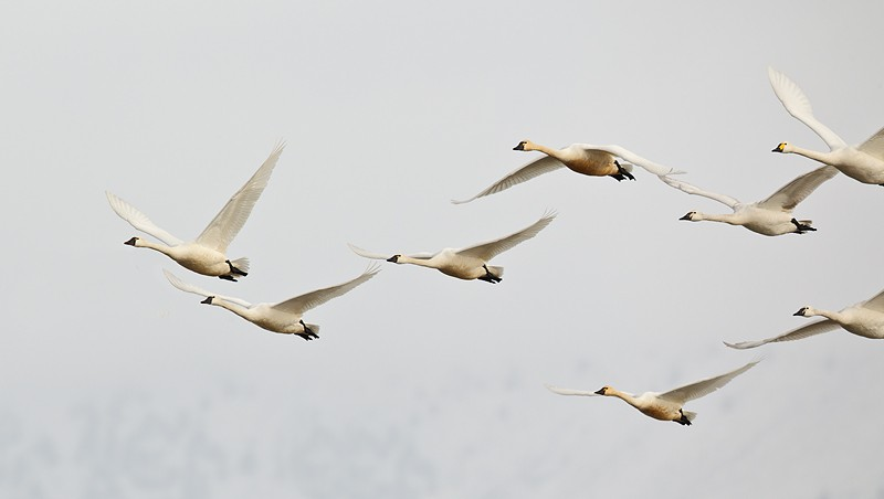 tundra-swans-group-in-flight-white-sky-_w3c3588-lower-klamath-nwr-ca