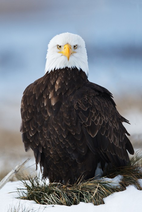 bald-eagle-sitting-on-grass-mound-in-snow-_w3c4085-lower-klamath-nwr-ca