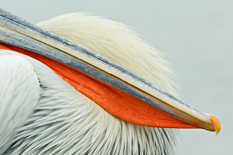 dalmatian-pelican-bill-and-breast-close-up-_w3c6187-lake-kerkini-greece