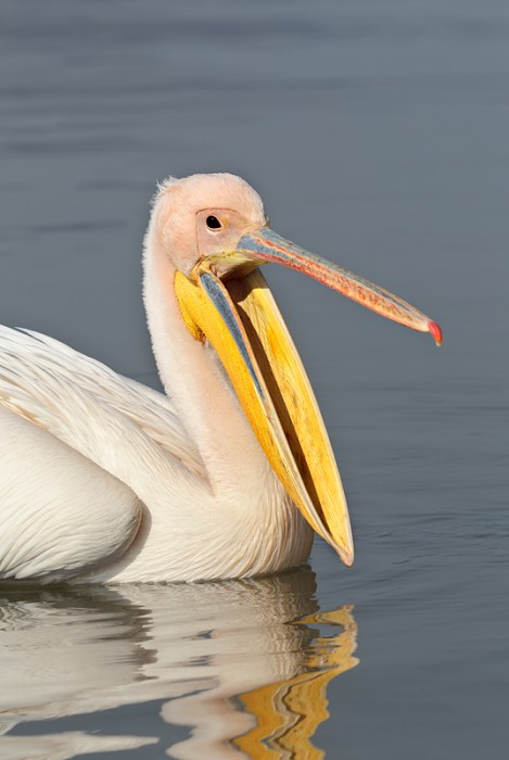 great-white-pelican-_r1e0355-lake-kerkini-greece