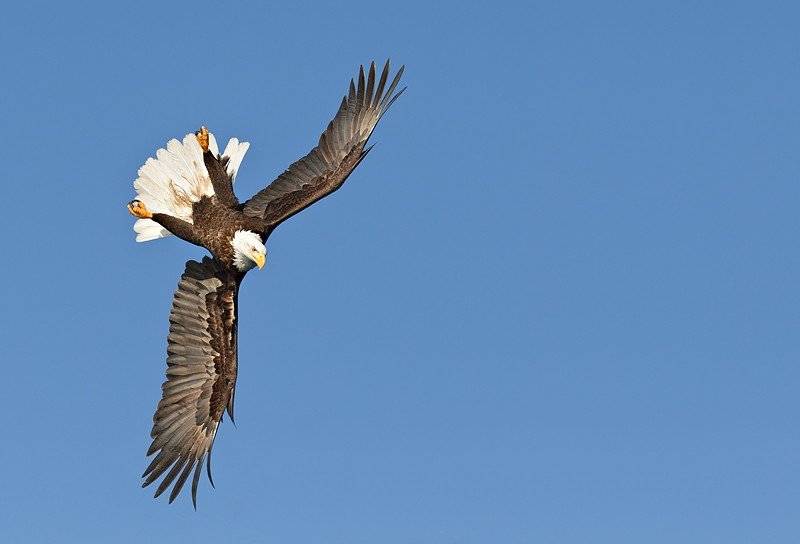 bald-eagle-ready-to-dive-nearly-upside-down-_y9c2976-near-homer-ak