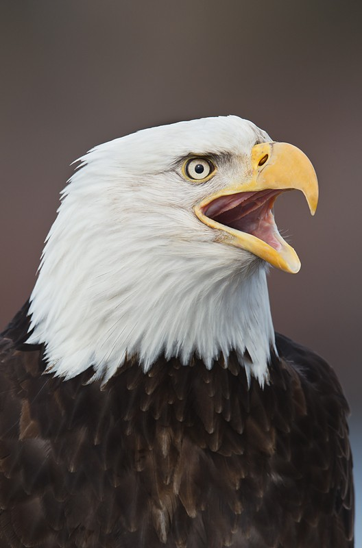 bald-eagle-calling-layers-_w3c4413-near-homer-ak-copy