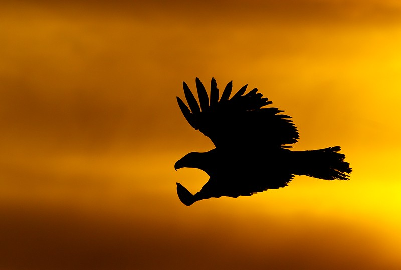 bald-eagle-gliding-sunset-silh-_y9c6780-near-homer-ak