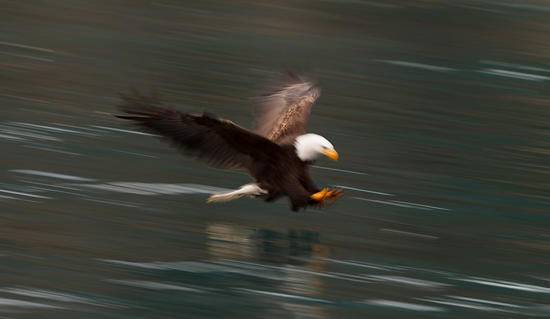 bald-eagle-blur-1-30-sec-_y9c7709-near-homer-ak