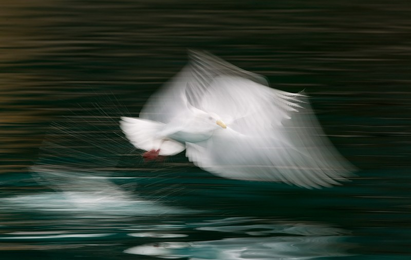 glaucous-winged-gull-1-20-sec-blur-_y9c7783-near-homer-ak