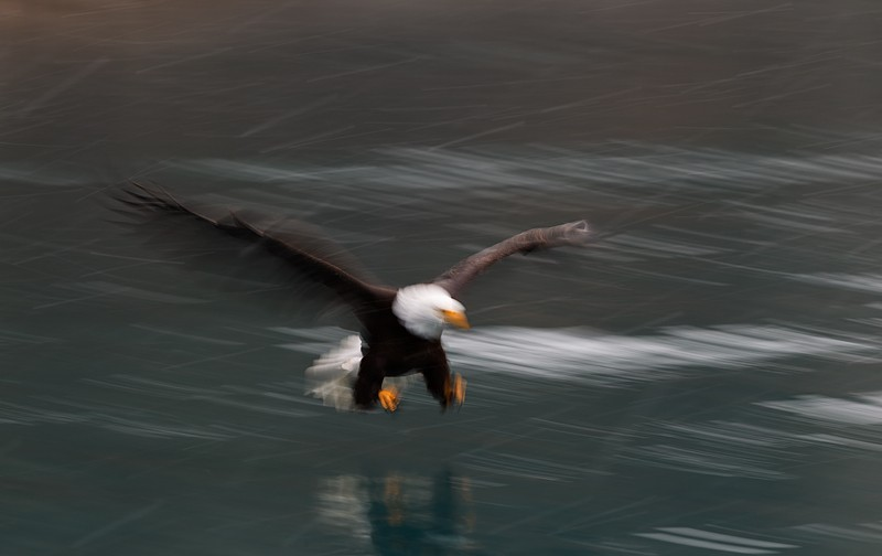 bald-eagle-incoming-strike-blur-1-15-sec-_y9c7615-near-homer-ak
