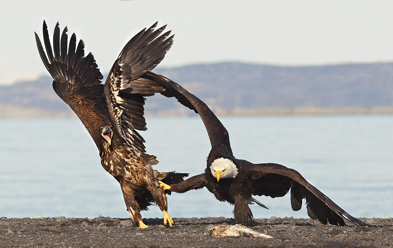 bald-eagle-adult-and-imm-squabbling-over-fish-baited-_y9c0750-near-homer-ak