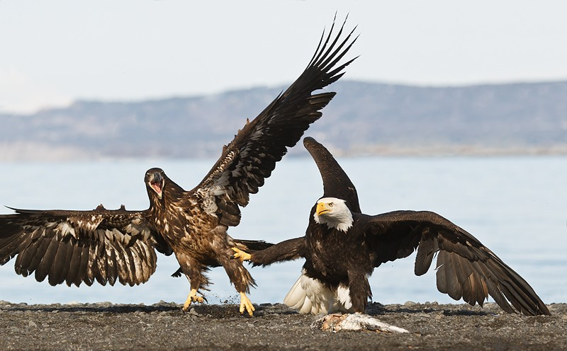 bald-eagle-adult-and-young-fighting-over-fish-_y9c0751-near-homer-ak