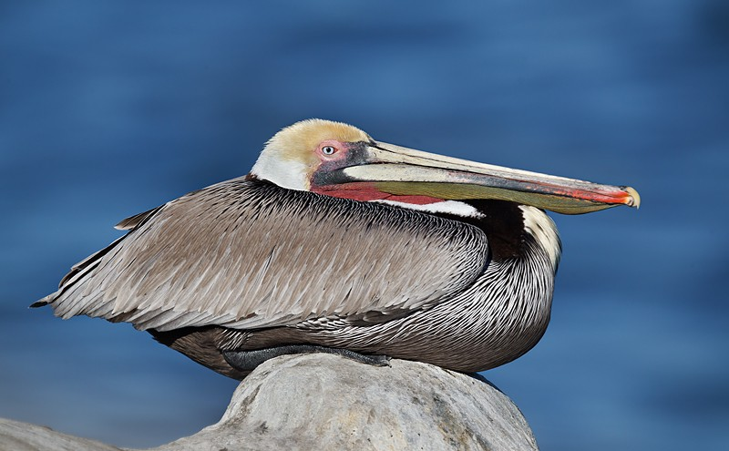 brown-pelican-resting-robt_w3c3655-la-jolla-ca