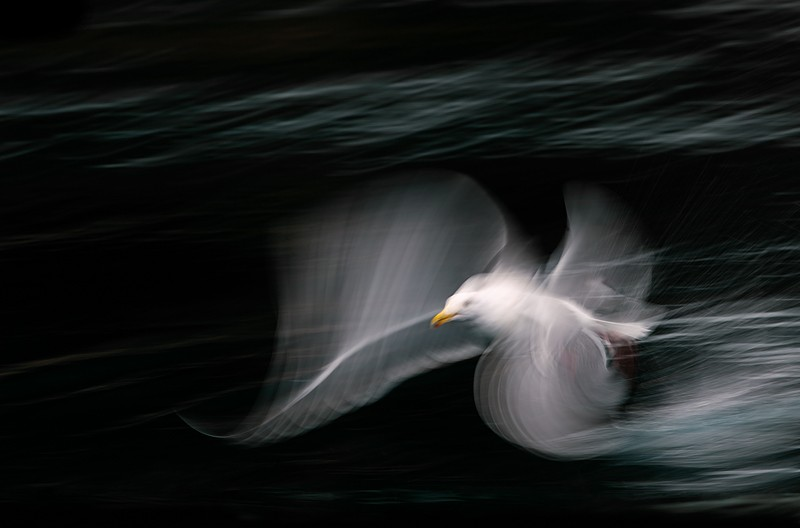 glaucous-winged-gull-blur-canvas-added-bottom-_y9c7801-near-homer-ak