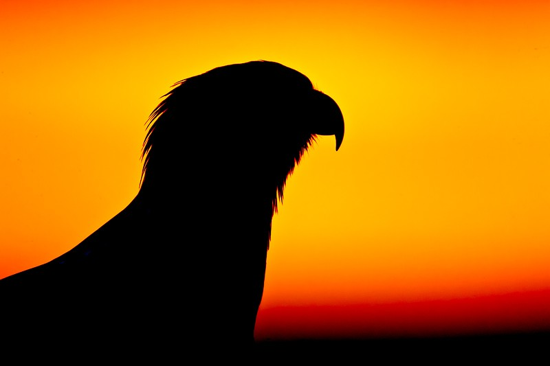 bald-eagle-imm-at-sunset-head-silh-_w3c5479-near-homer-ak