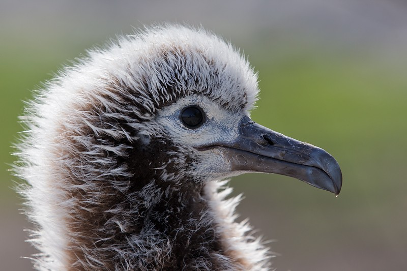 laysan-albatross-large-chick-head-portrait-backlit-_w3c8021-sand-island-midway-nwr