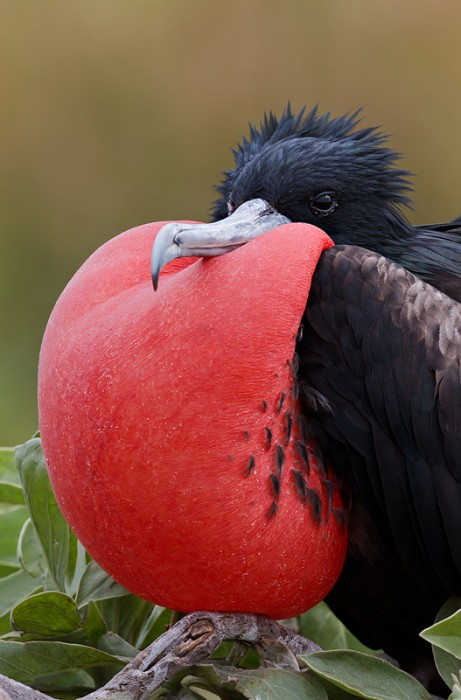 great-frigatebird-male-with-pouch-inflated-final-crop-_y9c7348-eastern-island-midway-nwr