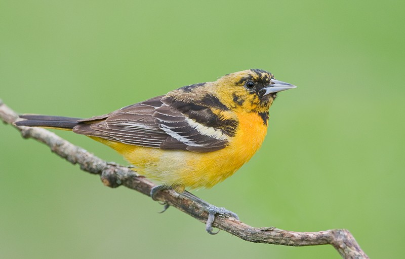 baltimore-oriole-imm-male-_10j9406-rondeau-provincial-park-ontario