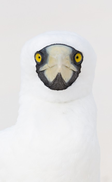masked-booby-vertical-head-portrait-_w3c7012-sand-island-midway-nwr_0