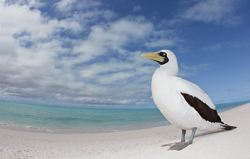 masked-booby-fish-eye-lagooon-cloude-_w3c6908-sand-island-midway-nwr
