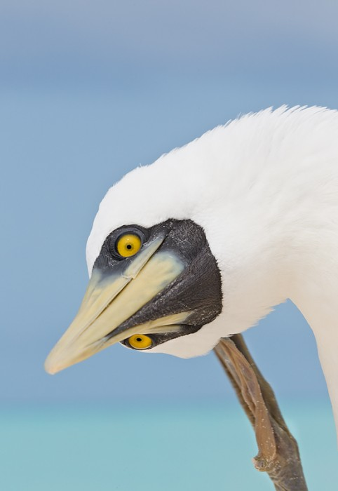 masked-booby-scratching-_w3c6627-sand-island-midway-nwr