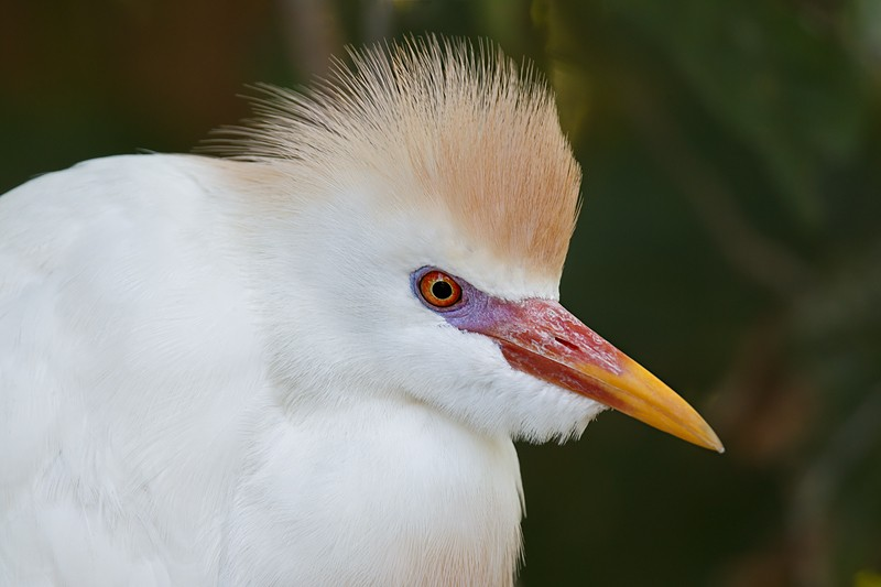 cattle-egret-worn-breeding-_w3c9872-st