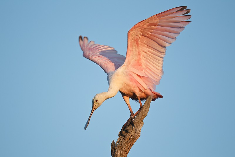 roseate-spoonbill-11-months-old-with-wings-raised-_w3c0019-st