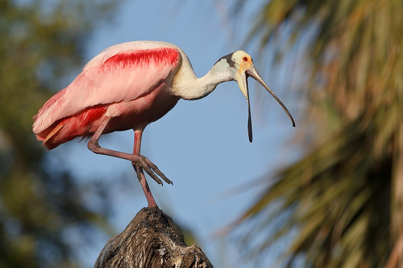 roseate-spoonbill-with-bill-open-_y9c9701-st