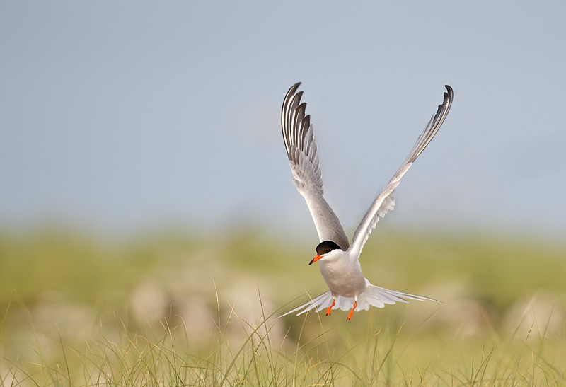 common-tern-landing-_y9c9794-nickerson-beach-li-ny