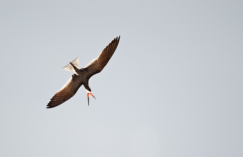 black-skimmer-dive-bombing-_y9c9757-nickerson-beach-li-ny