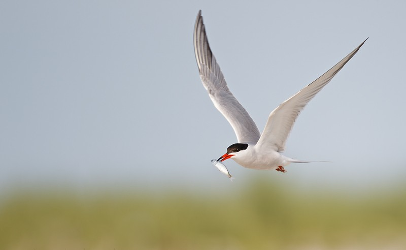 common-tern-with-fish-for-courtship-_y9c9932-nickerson-beach-li-ny