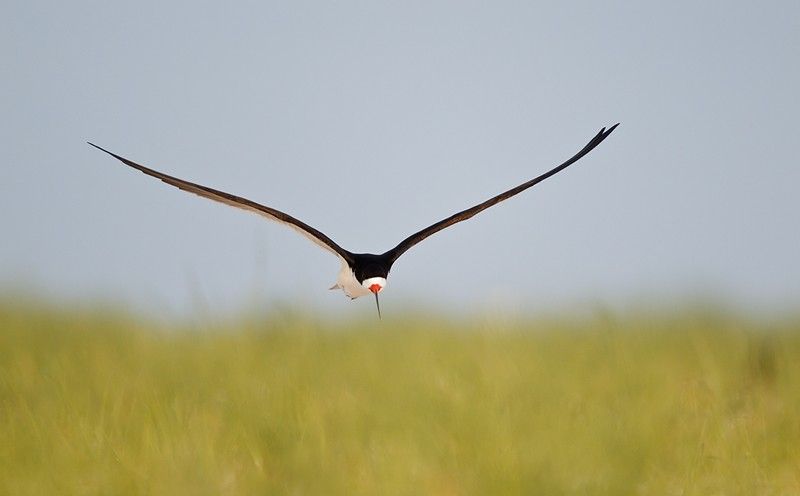 black-skimmer-over-nesting-grounds-_y9c9764-nickerson-beach-li-ny