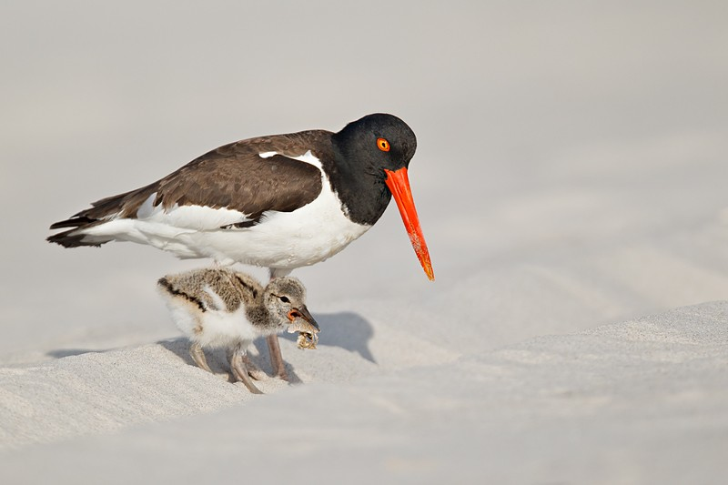 american-oystercatcher-with-chick-with-sand-crab-from-parent-_y9c1652-nickerson-beach-li-ny