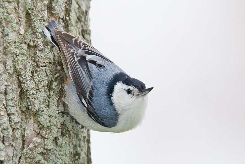 white-breasted-nuthatch-on-tree-_10j9624-rondeau-provincial-park-ontario