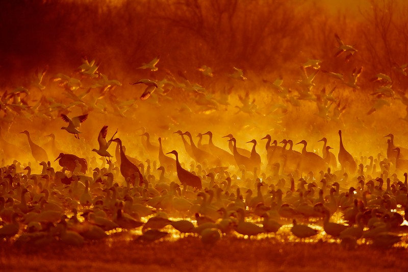 snow-geese-taking-flight-sandhill-cranes-in-red-yellow-mist-_10j7252-bosque-del-apache-nwr-san-antonio-nmc