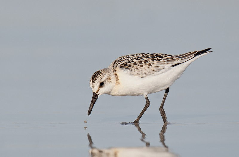 sanderling-fresh-juvenile-plumage-feeding-_9c0255-nickerson-beach-long-island-ny