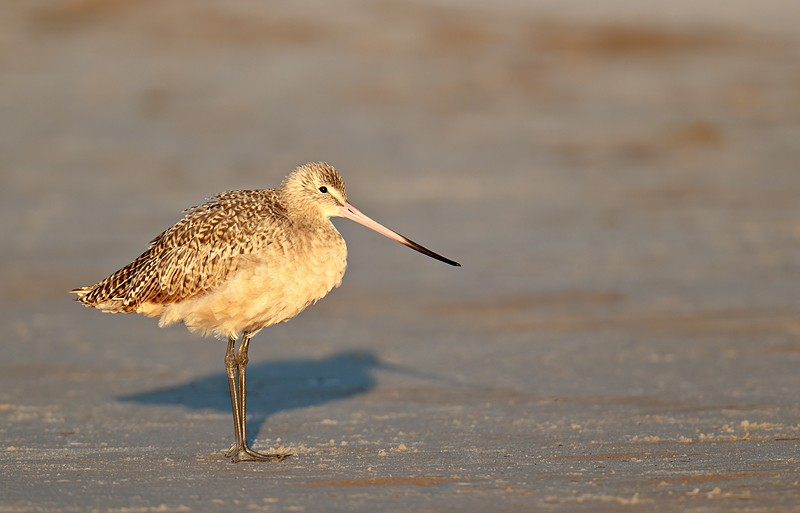marbled-godwit-_y9c1041-nickerson-beach-long-island-ny