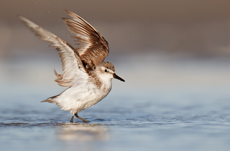 semipalmated-sandpiper-flapping-after-bath-_y9c1250-nickerson-beach-long-island-ny