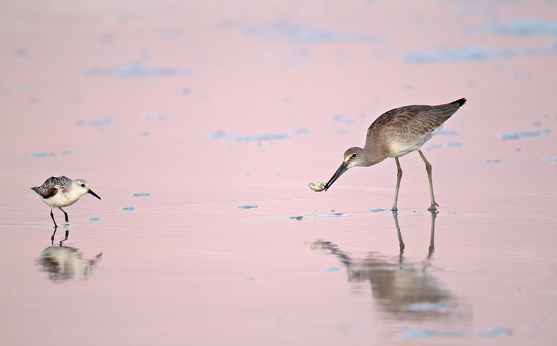 willet-juvenile-with-sand-crab-and-adult-sanderling-_y9c1605-nickerson-beach-long-island-ny