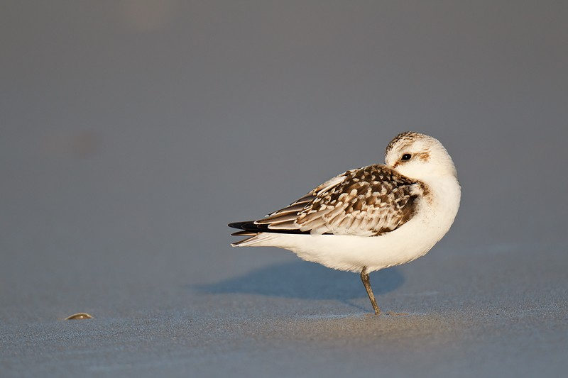 sanderling-juvenile-sleeping-on-wet-sand-beach-_y9c2348-nickerson-beach-long-island-ny