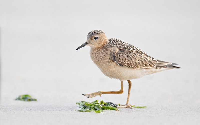 buff-breasted-sandpiper-striding-bpn-beach-cleaned-up-_y9c2860-nickerson-beach-long-island-ny-copy