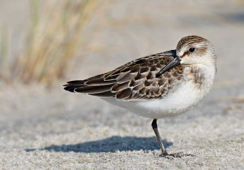 semipalmated-sandpiper-bpn-juvenile-resting-_y9c2531-nickerson-beach-long-island-ny