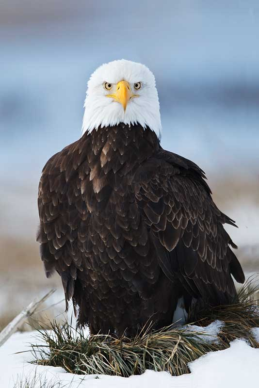 bald-eagle-sitting-on-grass-mound-in-snow-_w3c4085-lower-klamath-nwr-ca_0